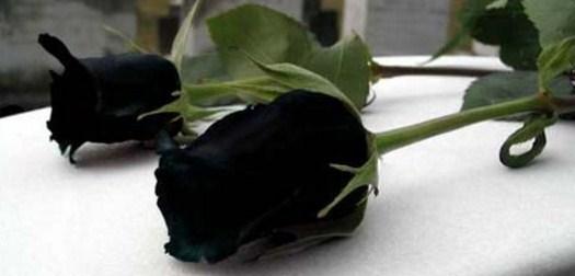 Rosas negras de duelo