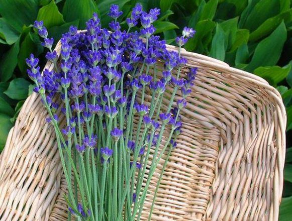fotos de flores de lavanda reales