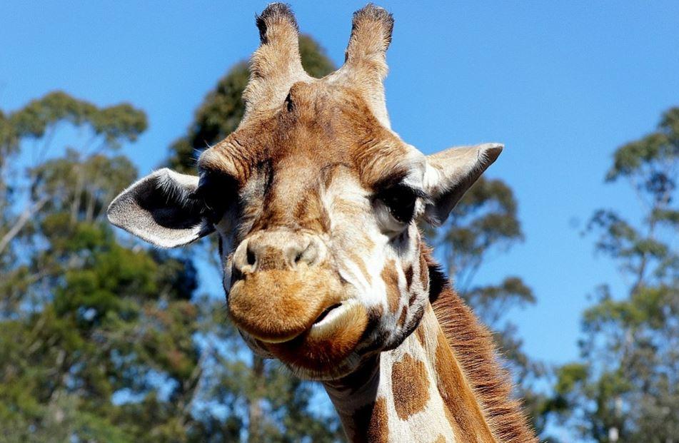 imagenes-de-caras-de-jirafas