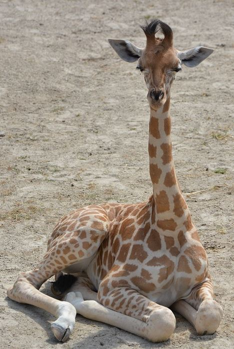 imagenes-de-jirafas-bonitas
