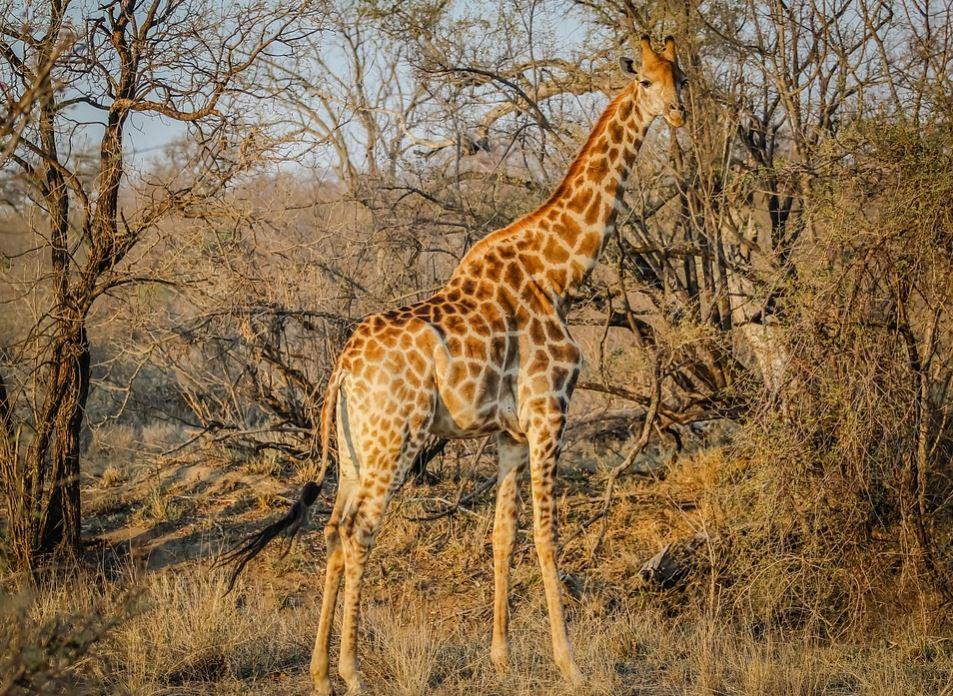 imagenes-de-jirafas-de-cuerpo-entero