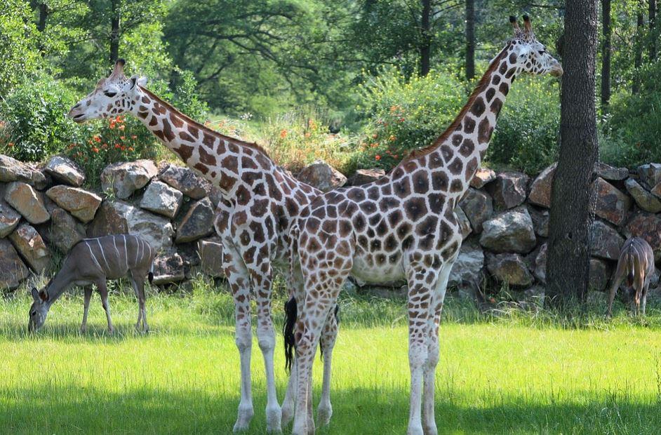 fotos-de-jirafas-reales