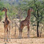 Imagenes de jirafas bonitas